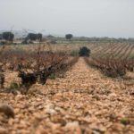 La garnacha, patrimonio de la viticultura ibérica