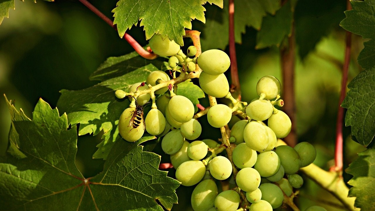 vinos viura macabeo madrid